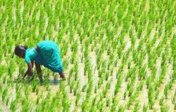 Indian woman farmer works in a South Indian paddy field replanting rice plants
