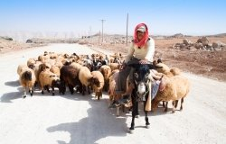 A shepherd on a donkey leads his sheep down a road to pasture, September 23, 2010 in Karak, Jordan